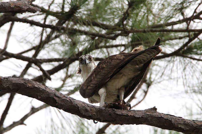 Osprey  Animals