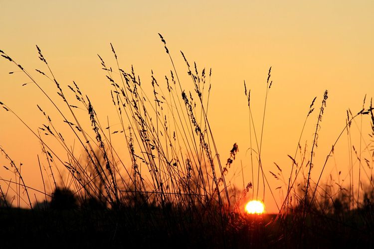 Sunset Orange Color Nature Growth Silhouette Beauty In Nature Sun Field Tranquility No People Plant Outdoors Sky Scenics Grass Shades Of Winter