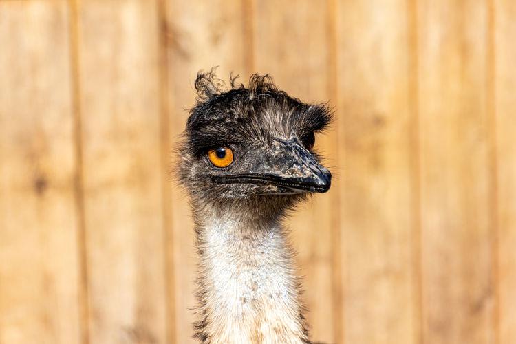 Portrait of a young female emu, dromaius novaehollandiae