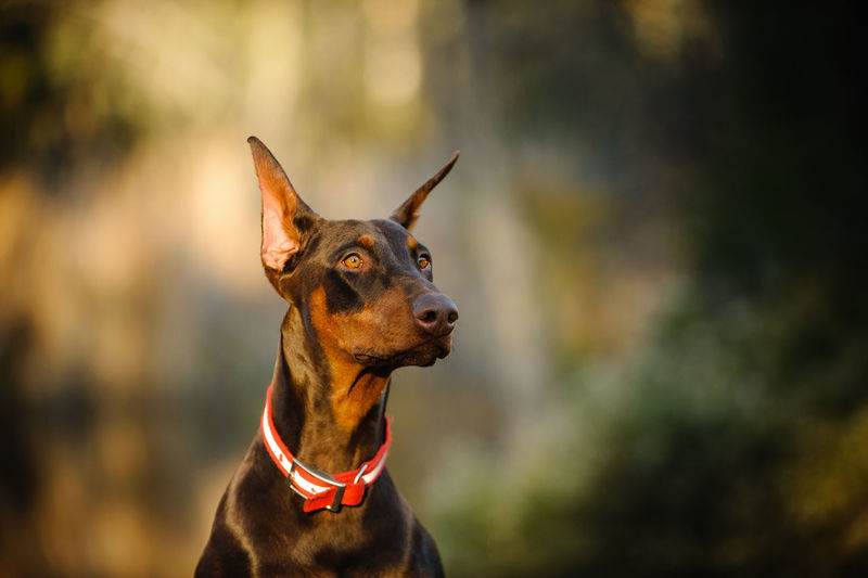 Doberman PInscher dog Animal Themes Canine Cropped Ears Day Doberman  Doberman Pinscher Dog Domestic Animals Guard Dog Mammal Nature No People One Animal Outdoors Pinscher Purebred Dog