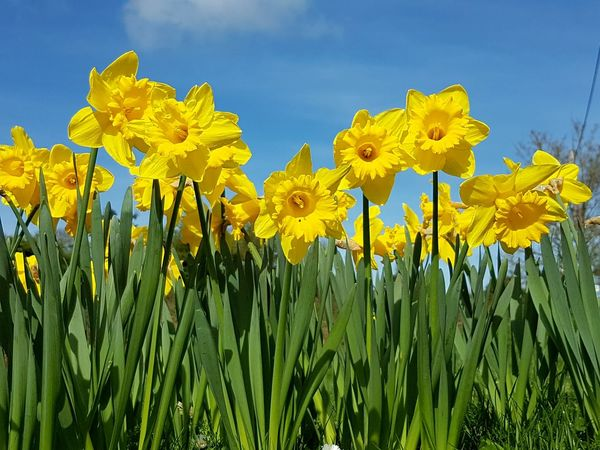 Yellow Flower Beauty In Nature Close-up Blue Nature Beauty No People Outdoors Field Rural Scene Landscape Flower Head Freshness Sky Fragility Spring Flowers Daffodils