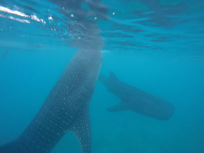 Whale sharks swimming together Fish Feeding Nature Philippines Blue Water Marine Life Underwater Whale Shark Whaleshark