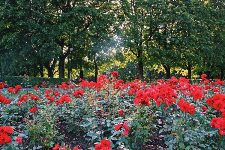 EyeEm Nature Lover Beauty In Nature Blooming Color Day Flower Flower Head Fragility Freshness Growth Nature No People Outdoors Plant Red Scenics Tree The Week On EyeEm