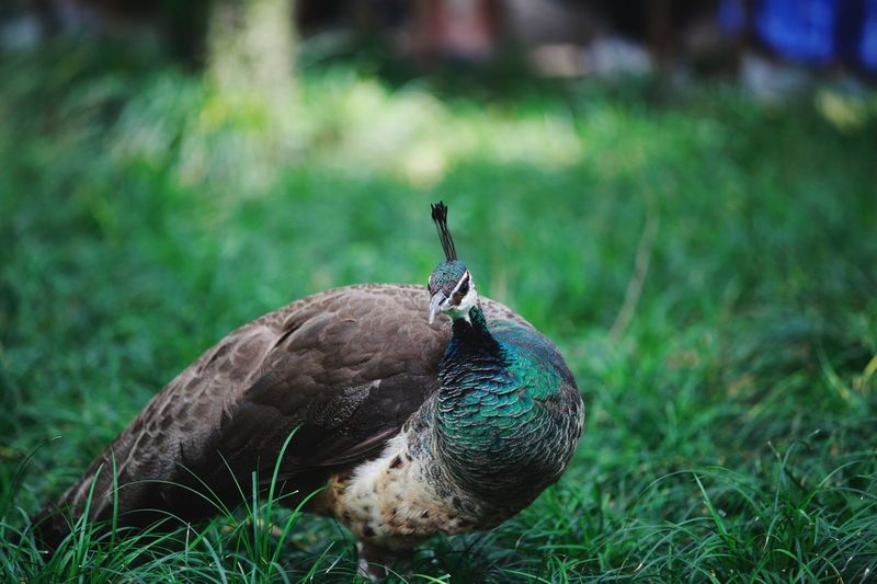 Close-Up Of Peahen Perching On Grassy Field
