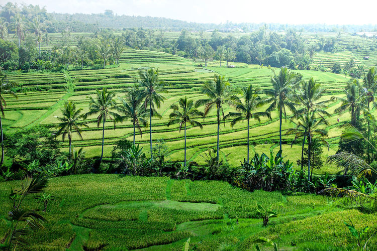 morning scenery of rice paddy terrace at tabanan bali Tabanan, Bali, Indonesia Agriculture Beauty In Nature Coconut Trees Cultivated Land Farm Field Green Color Landscape Morninglight No People Rice Paddy Terraced Field Tranquil Scene Tranquility