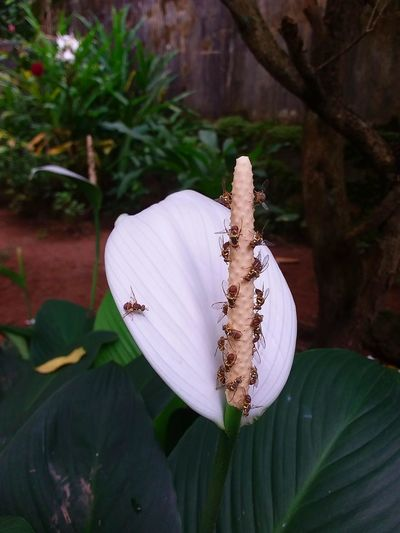 Nature Love... In White My Garden @my Home White Color My Garden Flower Flower Flower Head Insect Close-up Plant Flowering Plant Pollination Pollen In Bloom Honey Bee Plant Life