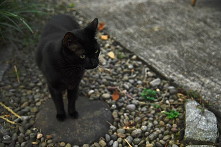 A black cat hangs out in the backyard Cat Outside Cats Domestic One Animal Pets Mammal Feline Vertebrate No People Day Portrait Whisker Black Cat Rock Pebble Grass Outdoors Face Eyes Walking Looking Afternoon High Angle View Standing Animal Themes EyeEmNewHere A New Beginning