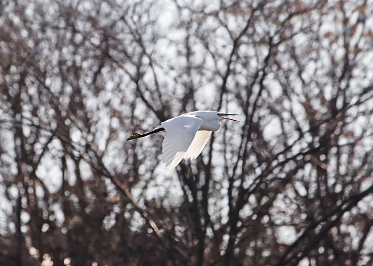 Eastern great egret (white heron) White Heron Egret Flying Tree Animals In The Wild Bird Animal Animal Themes Vertebrate Animal Wildlife One Animal Spread Wings Nature Low Angle View No People Mid-air Day Focus On Foreground