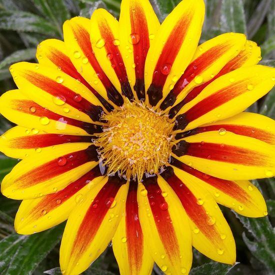 Gazania Striped Flowers Stripes Striped Petal Nature Bold EyeEmNewHere Flower Yellow Flower African Daisy Gazania Daisy