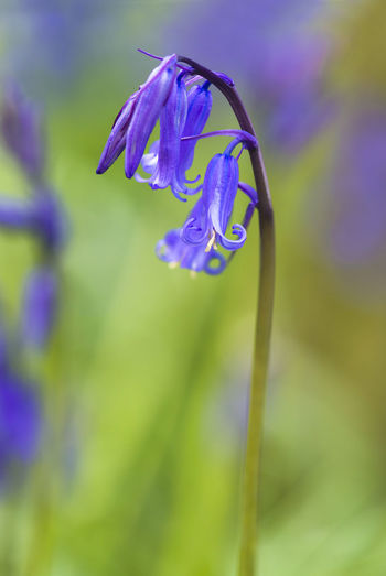 Close up of a bluebell flower Animal Themes Beauty In Nature Bluebell Flower Bluebell Woods Close Up Close-up Day Flower Flower Head Fragility Freshness Insect Nature No People Outdoors Petal Plant Purple