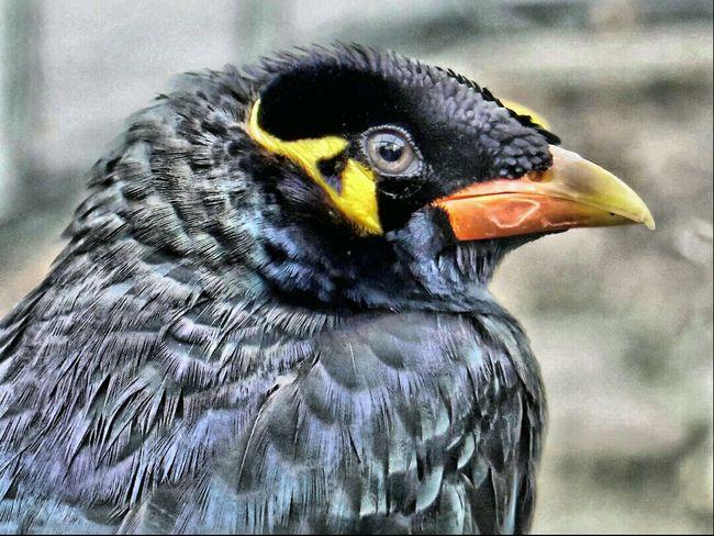 Beo HDR Bird Photography Beautiful Birds BirdLovers Birds_collection Macro Photography