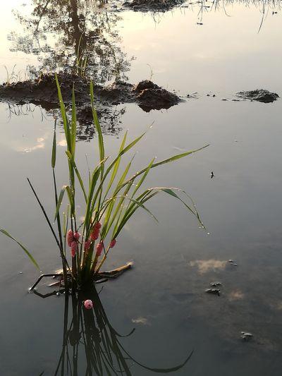 Water Reflection Golden Applesnail Apple Snail Morning Light Rice Field