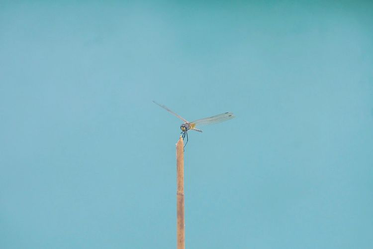 Low angle view of insect on stick against turquoise background