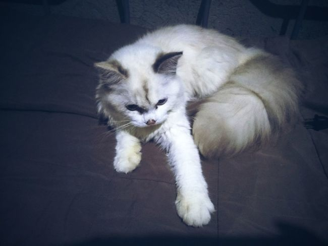 CatsOfEyeEm Pets One Animal Feline Kitten Feline Photography, Persian Cat