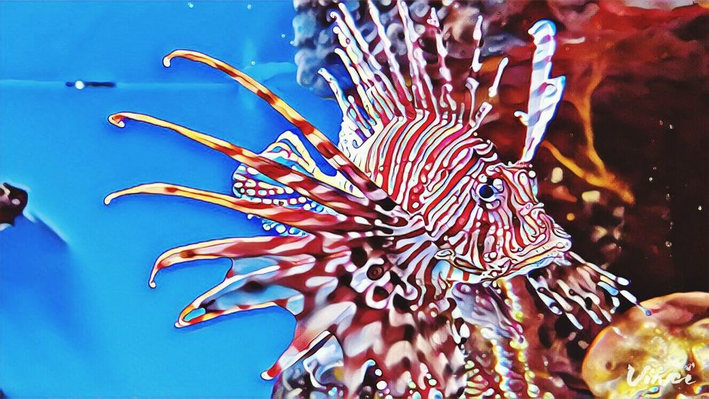 Da LionFish Bostonaquarium Lionfish Invasive Sea Life Underwater Blue Aquarium Colorful Beauty In Nature Close-up Red Vinci