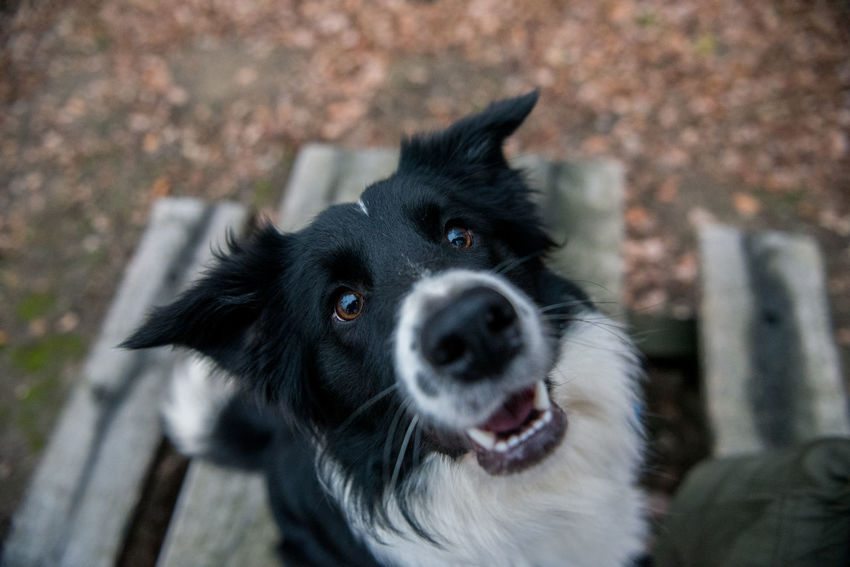 Animals In The Wild Border Collie Collie Dog Looking At Camera Pet Photography  Pet Portraits Animal Themes Black And White Black Color Border Bordercollie  Close-up Collie Dog Domestic Animals One Animal Pet
