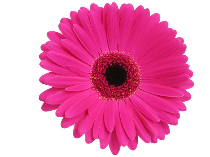 Close-up of pink gerbera daisy over white background