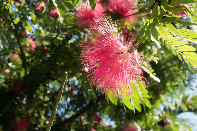 Cuba Havana Nature Pink Plant Beauty In Nature Blooming Close-up Day Eucaliptus Fragility Growth Low Angle View Nature No People Outdoors Plant Tree