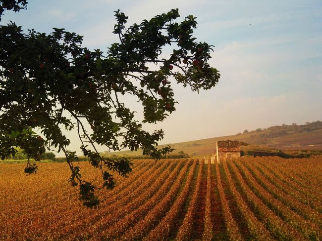 Travelling The Route des Grands Crus near Beaune. Scenic Landscapes Rural Burgundy, France Grapes Leaves Vineyards  France🇫🇷 Tree Field Agriculture Landscape Growth Beauty In Nature Tranquil Scene Rural Scene Nature Scenics Outdoors
