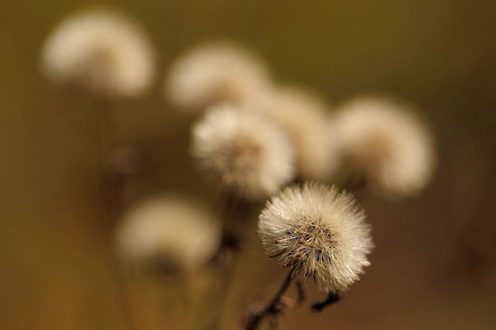 Tiny dandelion-like seed heads. Autumn Beauty In Nature Brown Bye-bye Summer! Close-up Dandelion Delicate Dry Eye4photography  EyeEm Best Shots Heile Welt EyeEm Nature Lover Fall Fall Beauty Farewell Fine Art Photography Flowerporn Flowers Fragility Nature No People Seed Seed Head Selective Focus Still Life