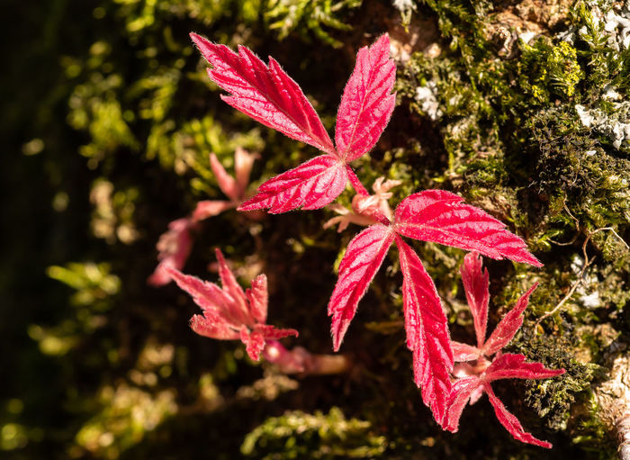 red leaf Leaf Plant Part Red Beauty In Nature Nature Close-up No People Growth Outdoors Leaves Sunlight Focus On Foreground EyeEm Nature Lover Eyeemphotography