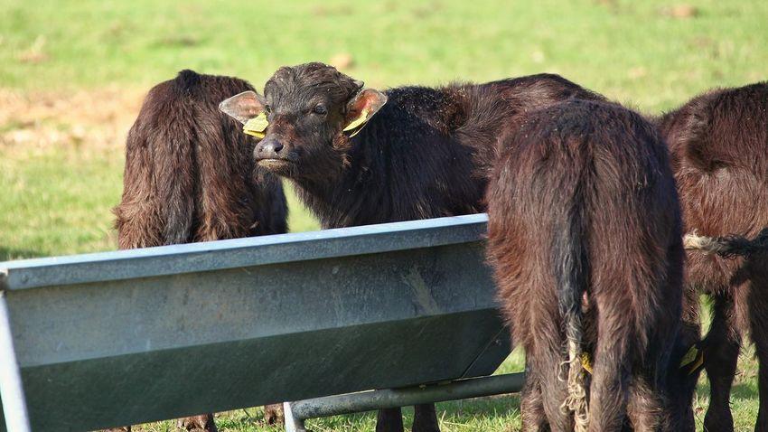 Karpatische Wasserbüffel Agriculture Animal Themes Cattle Cow Day Domestic Animals Herbivorous Livestock Mammal Milk Nature No People Outdoors Rural Scene
