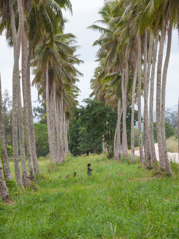 Palm Grove Efate Vanuatu . Efate is an island in the Pacific Ocean which is part of the Shefa Province in The Republic of Vanuatu. It is also known as Île Vate. It is the most populous (approx. 66,000)[1] island in Vanuatu. Efate's land area of 899.5 square kilometres (347.3 sq mi) makes it Vanuatu's third largest island. Most inhabitants of Efate live in Port Vila, the national capital. Its highest mountain is Mount McDonald with a height of 647 metres (2,123 ft). During World War II, Efate served an important role as a United States military base. Beauty In Nature Day Efate Island Grass Green Color Growth Landscape Melanesian Nature No People Outdoors Pacific Pacific Ocean Palm Tree Tourism Tourist Attraction  Tranquil Scene Tranquility Travel Travelling Tree Tree Trunk Vanuatu Vanuatu Wedding Vivid International