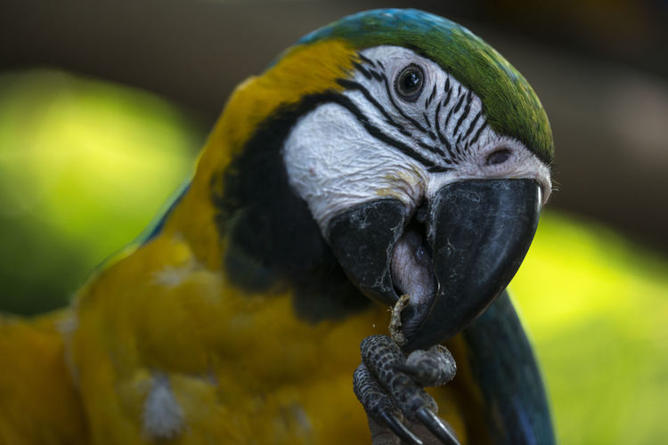 Close-up of a parrot eating