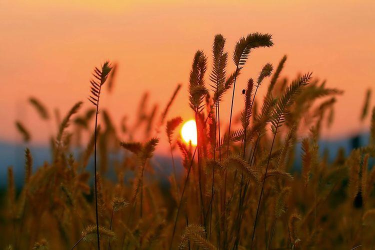 wheatgrass and