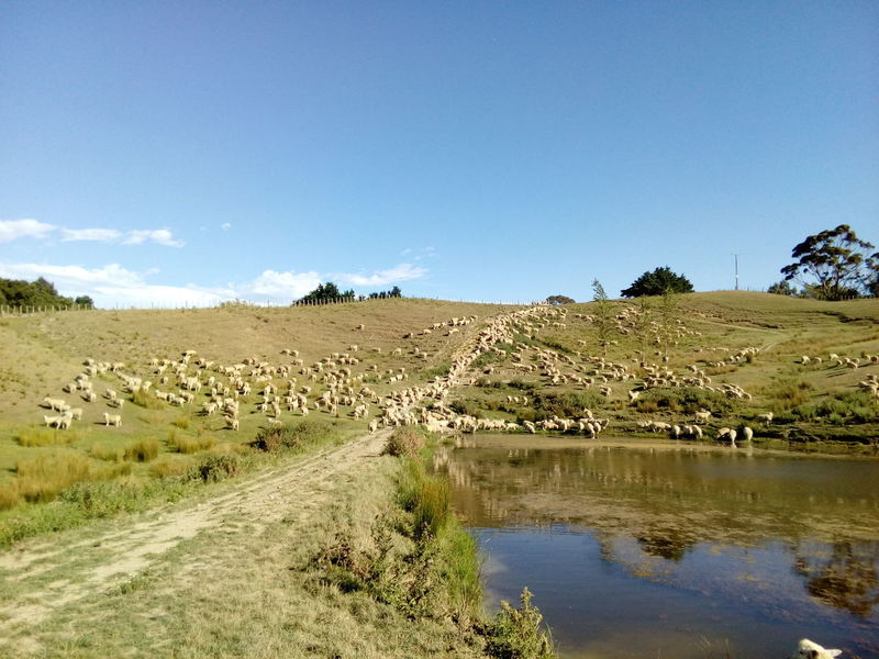 Farm Farm Life Omakere, Hawkes' Bay New Zealand Rural Animal Themes Dog Outdoors Rural Scene Sheep Sheep Farm