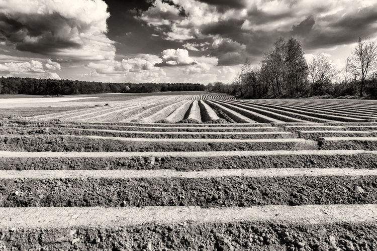 Asparagus field with well structured earth and blue sky B&w Vivid Contrast Cloud - Sky Plant Agriculture Sky Field Land Tranquil Scene Rural Scene Tranquility Environment Landscape Beauty In Nature Scenics - Nature Nature Tree Growth No People Farm Day Outdoors Plantation