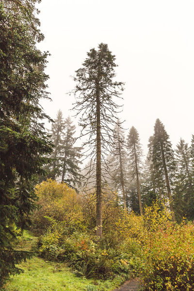 Hoyt Arboretum / Forest Park in Portland, Oregon, USA. Fall time foggy and rainy day. Beauty In Nature Clear Sky Day Forest Growth Nature No People Outdoors Pine Tree Scenics Sky Tranquil Scene Tranquility Tree