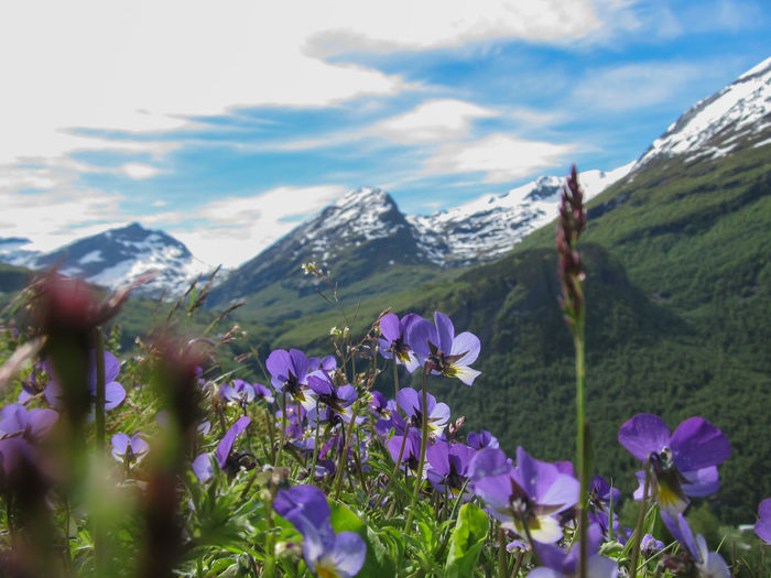 Close-up of purple flowering plants against mountain