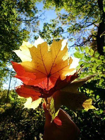 Autumn Autumn Leaves Colors Of Autumn Colorful Autumn Colors Mapleleaf Nature EyeEm Nature Lover Beautiful Nature Nature Photography
