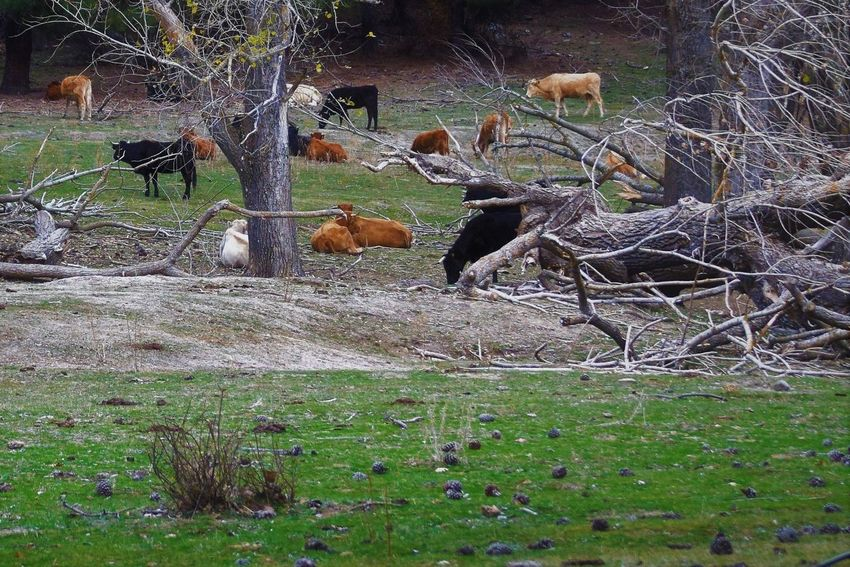 Animal Themes Animals In The Wild Bare Tree Day Domestic Animals Field Grass Grazing Large Group Of Animals Livestock Mammal Nature No People Outdoors Tree