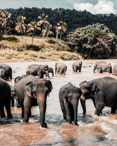Elephants in lake