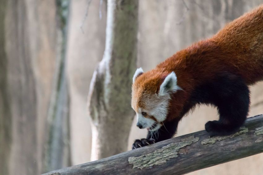 Could this Red Panda be any cuter? Shot at the Memphis Zoo MemphisZoo RedPandas Zoo Cute Animals Cute Animal Climbing Climber Climbing Trees Climbing A Tree Climbingtrees Tree Climbing Treeclimbing Animals In Captivity