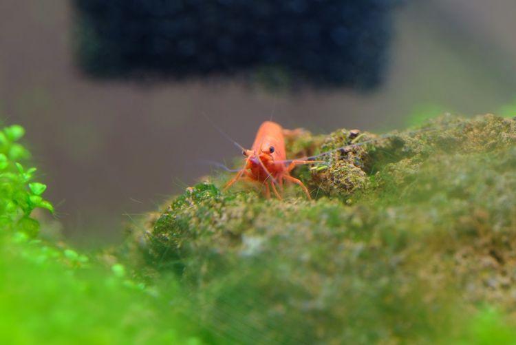 飼っているスーパーレッドチェリーシュリンプです。その1。 Red Cherry Shrimp Shrimps Animal Themes Animal Animal Wildlife Animals In The Wild Selective Focus One Animal Plant