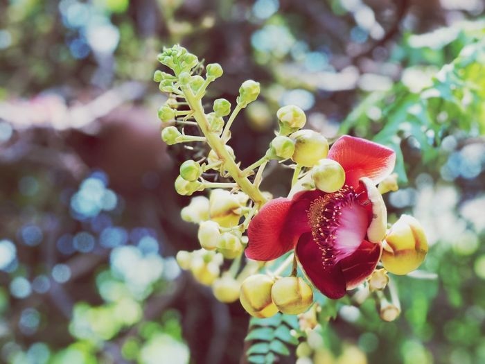 Sal flowers on the tree Plant Growth Focus On Foreground Close-up Freshness Beauty In Nature No People Nature Day Food And Drink Fruit Food Fragility Plant Part Healthy Eating Flower Tree Red Outdoors Leaf