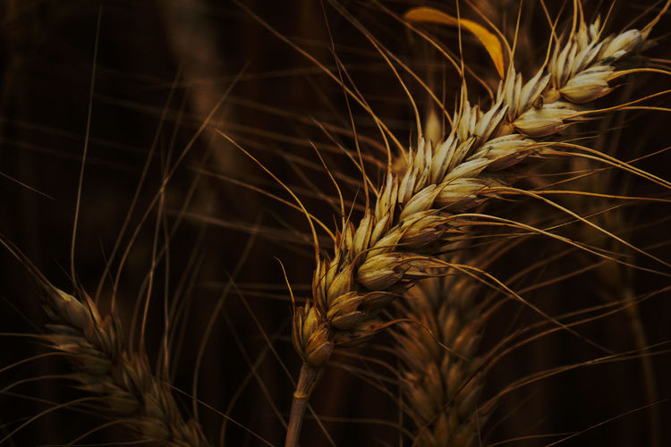 Close-up of wheat plants at night