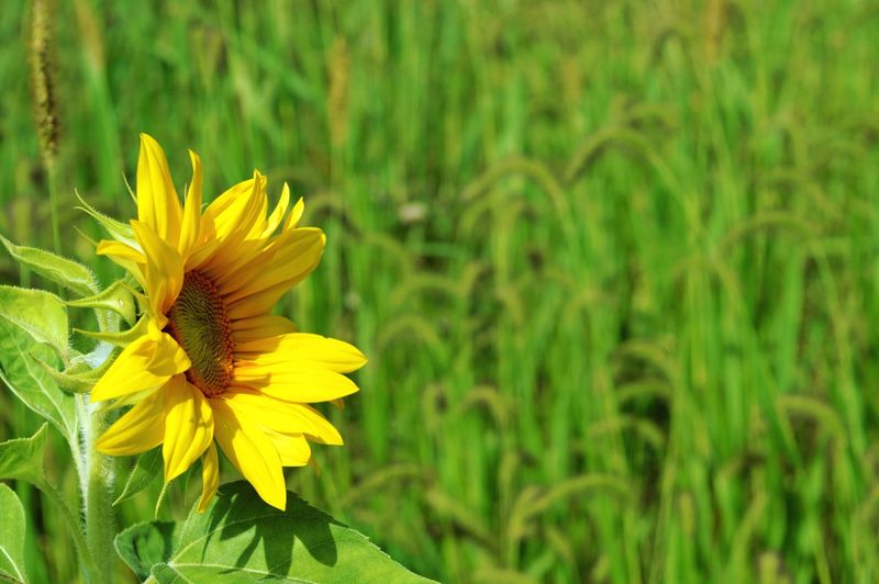 Still shining strong. Sunflowers Nature Outdoors Sunny Day Flower Head Flower Yellow Black-eyed Susan Springtime Petal Summer Sunflower Blossom Close-up In Bloom