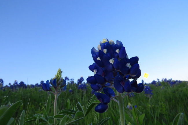 Bluebonnet Festival Blues Don't Pick The Flowers Felony, Purple First Texas Flower Season  Spring Texas