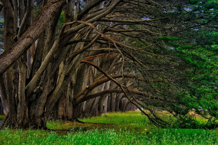 Pt. Reyes National Seashore Cypress Tree Tunnel Plant Tree Growth Green Color Land Grass Beauty In Nature Nature Tranquility No People Day Outdoors Forest Field Scenics - Nature Sunlight Environment Trunk Tree Trunk Tranquil Scene