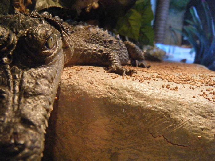 Gator Alligator Baby Nose Eye Rock Brown Sunbathing