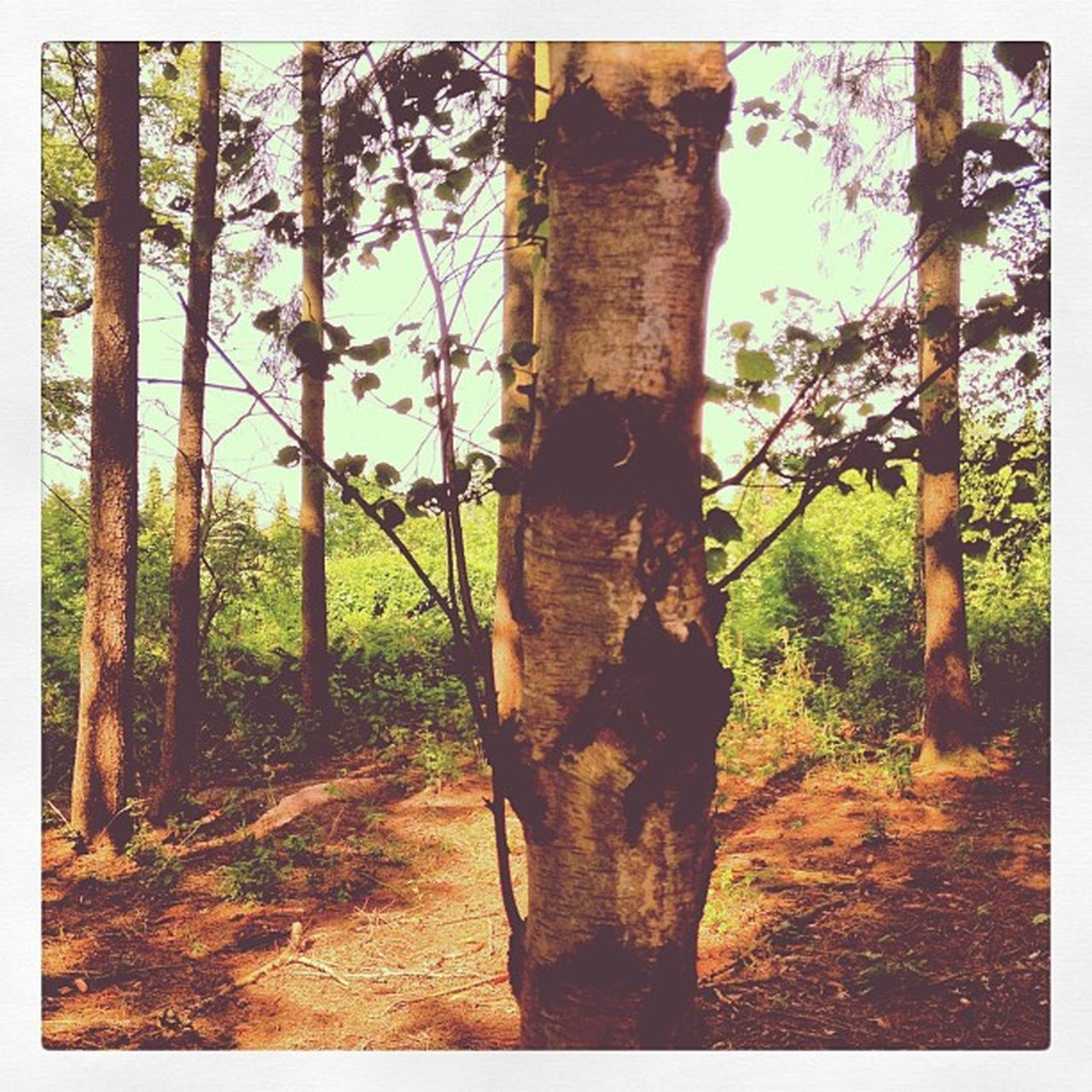 tree, tree trunk, forest, nature, day, growth, no people, outdoors, sunlight, landscape