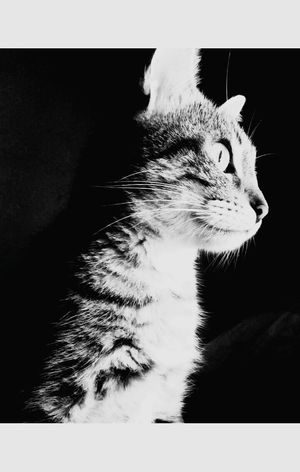 Cat♡ Photo Black And White Beautiful