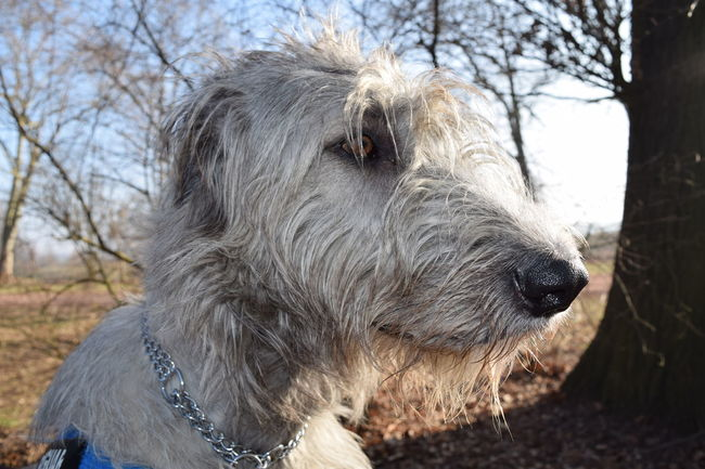 One Animal Animal Themes Mammal Focus On Foreground Domestic Animals Take A Walk In The Park Herrenkrugpark Sunlight How Is The Weather Today? February 2017 Winter 2017 Cearnaigh Dogslife Irish Wolfhound Dogwalk Dogs Of EyeEm Looking At Camera Animal Body Part Animal Head  Weather Portrait Tree Sky Outdoors Pets