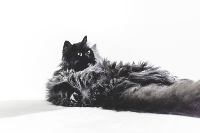 Animal Themes Black Black And White Black Cat Black Cat Photography Black Cats Black Color Blackandwhite Cat Cats Close-up Day Domestic Animals Horizontal Indoors  Looking At Camera Mammal Monochrome Photography No People One Animal Pet Pet Photography  Pets Pets Corner Portrait
