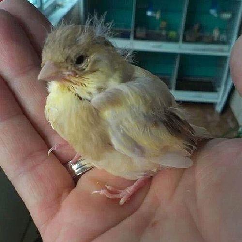 15 günlük yavrucuk babasının elindeee :)) Kanarya Gloster Babam Yavrular kuş bird maşallah SubhanAllah