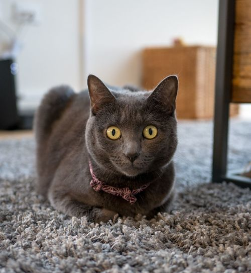 Izzy cat Loaf Grey Cat Russian Blue One Animal Cat Pets Domestic Cat Mammal Portrait Domestic Looking At Camera Domestic Animals Feline Vertebrate No People Close-up Whisker Home Interior Animal Eye Yellow Eyes